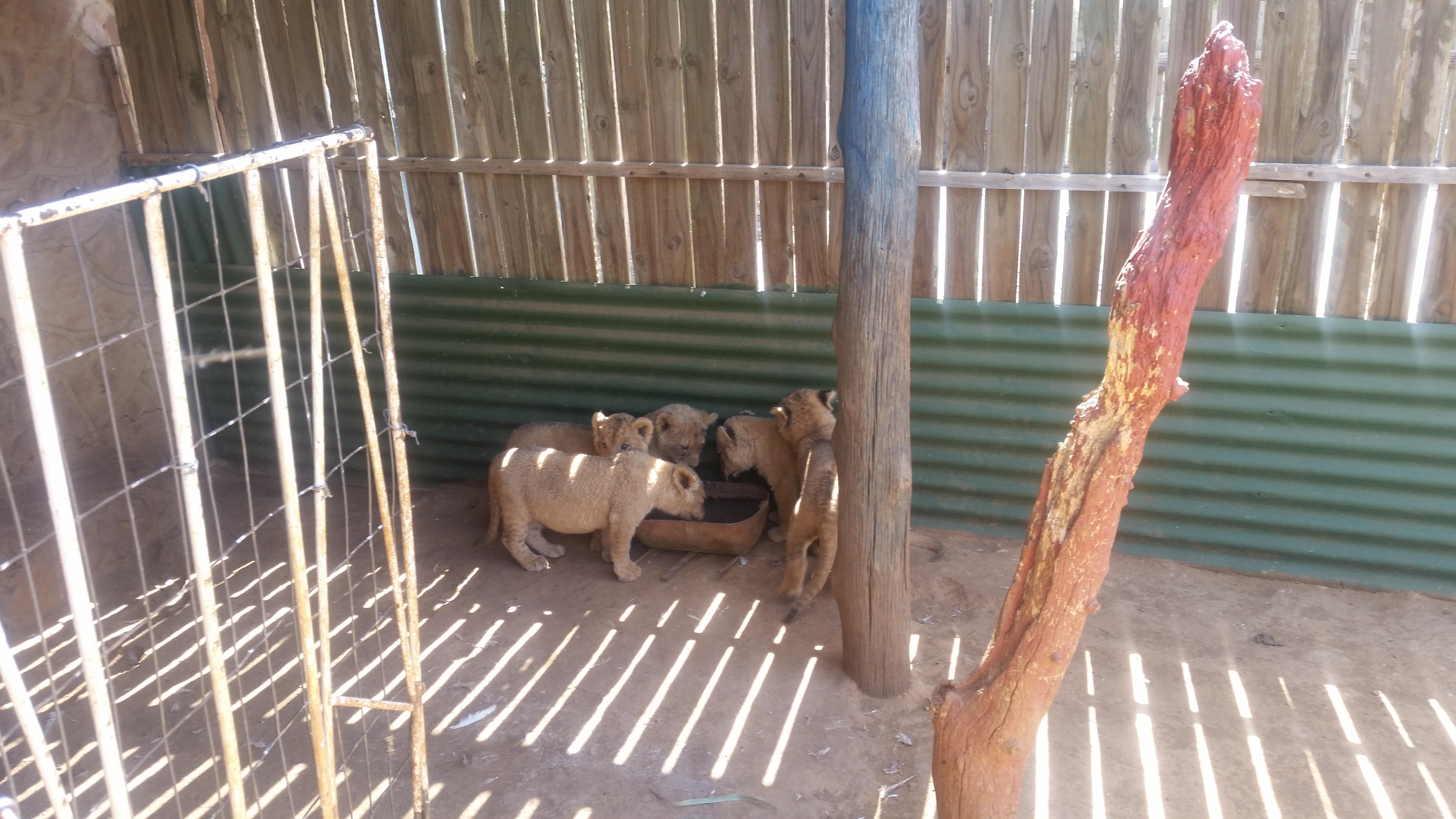 Captive-bred lions