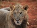 Lone lion