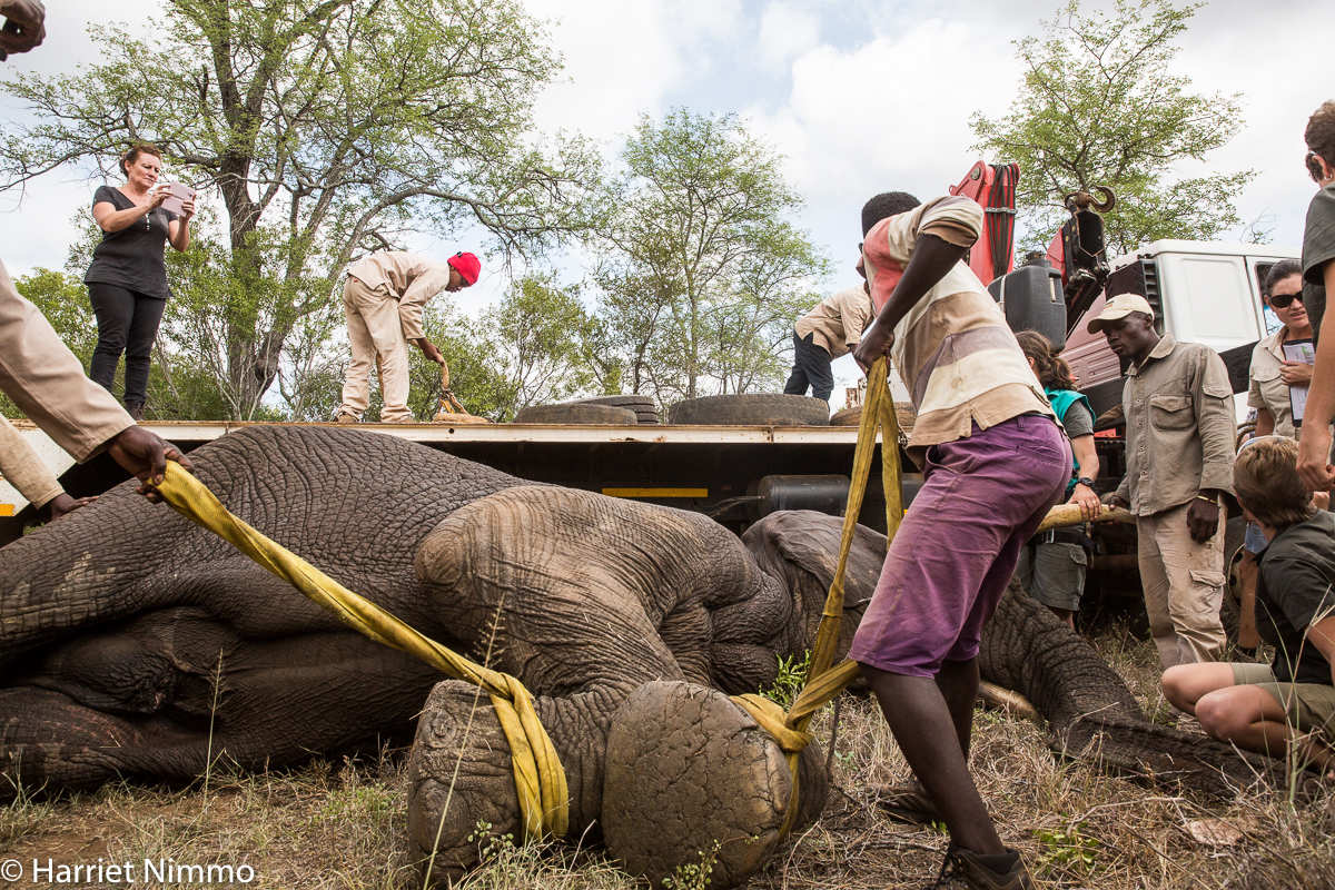 Elephant Rescue loading truck 1