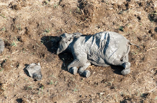 Poached elephant Chobe 3