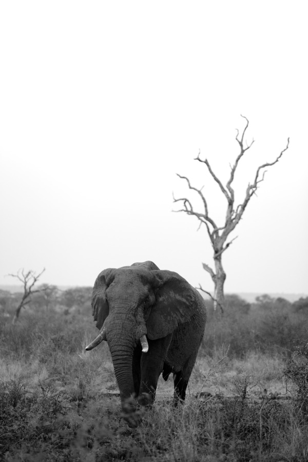 Elephant bull in B&W
