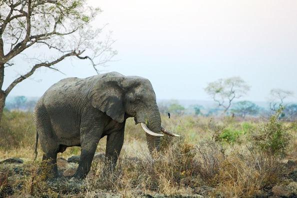 Elephant in landscape