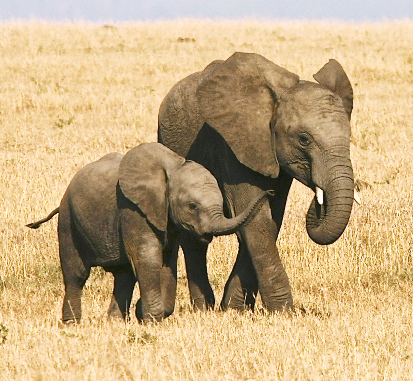 Elephant siblings