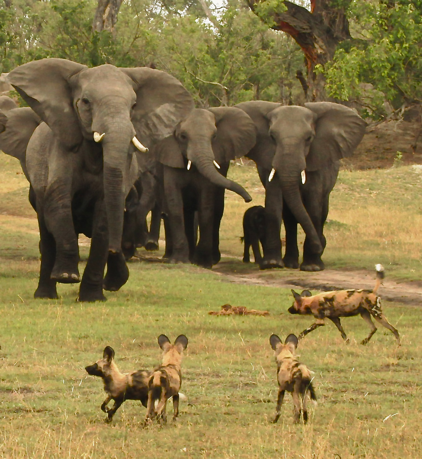 Elephant vs Wild Dog