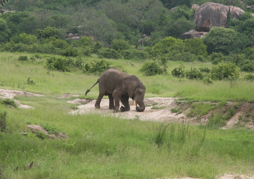 Elephant loosening sand before eating minerals, Ruaha NP