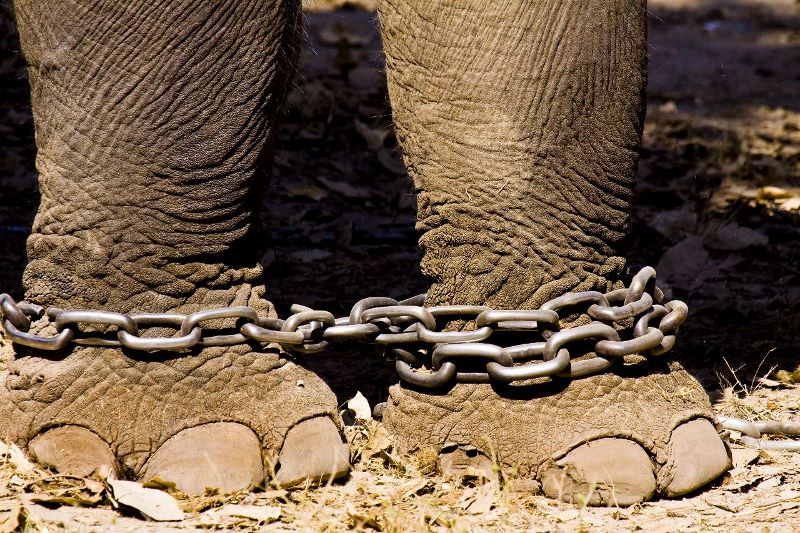 Elephant in chains, India