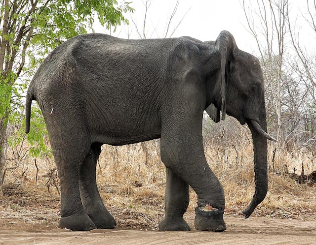 Hwange Elephant with snare