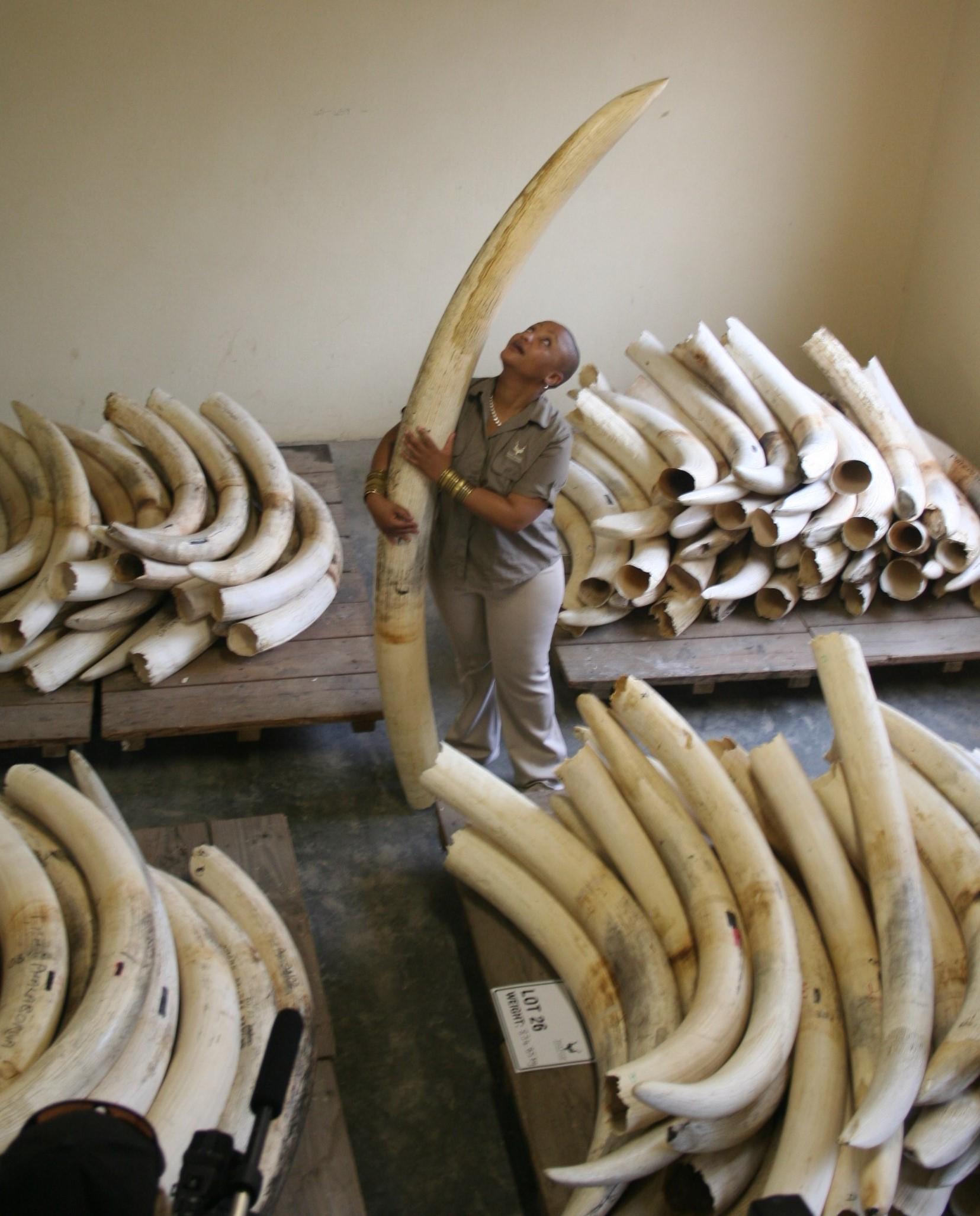 Kruger tusks 1