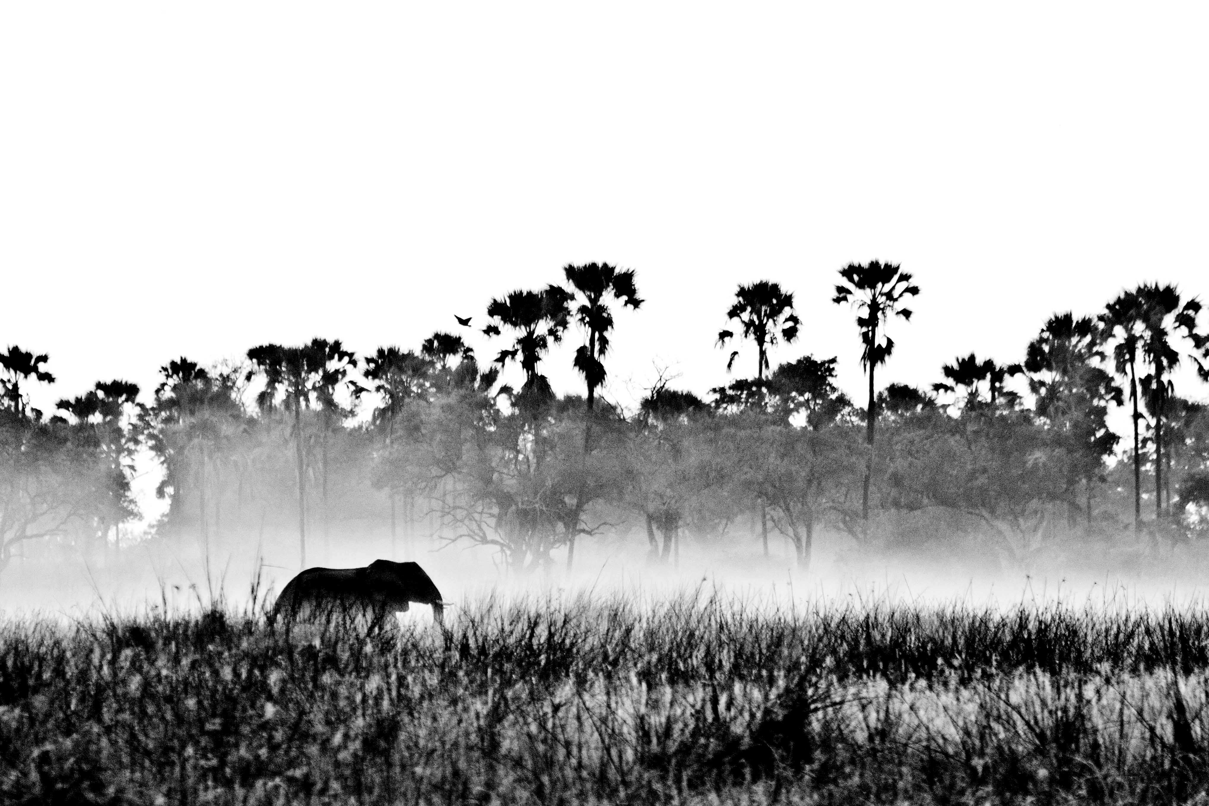 Elephant at Dawn, Moremi NP, Botswana