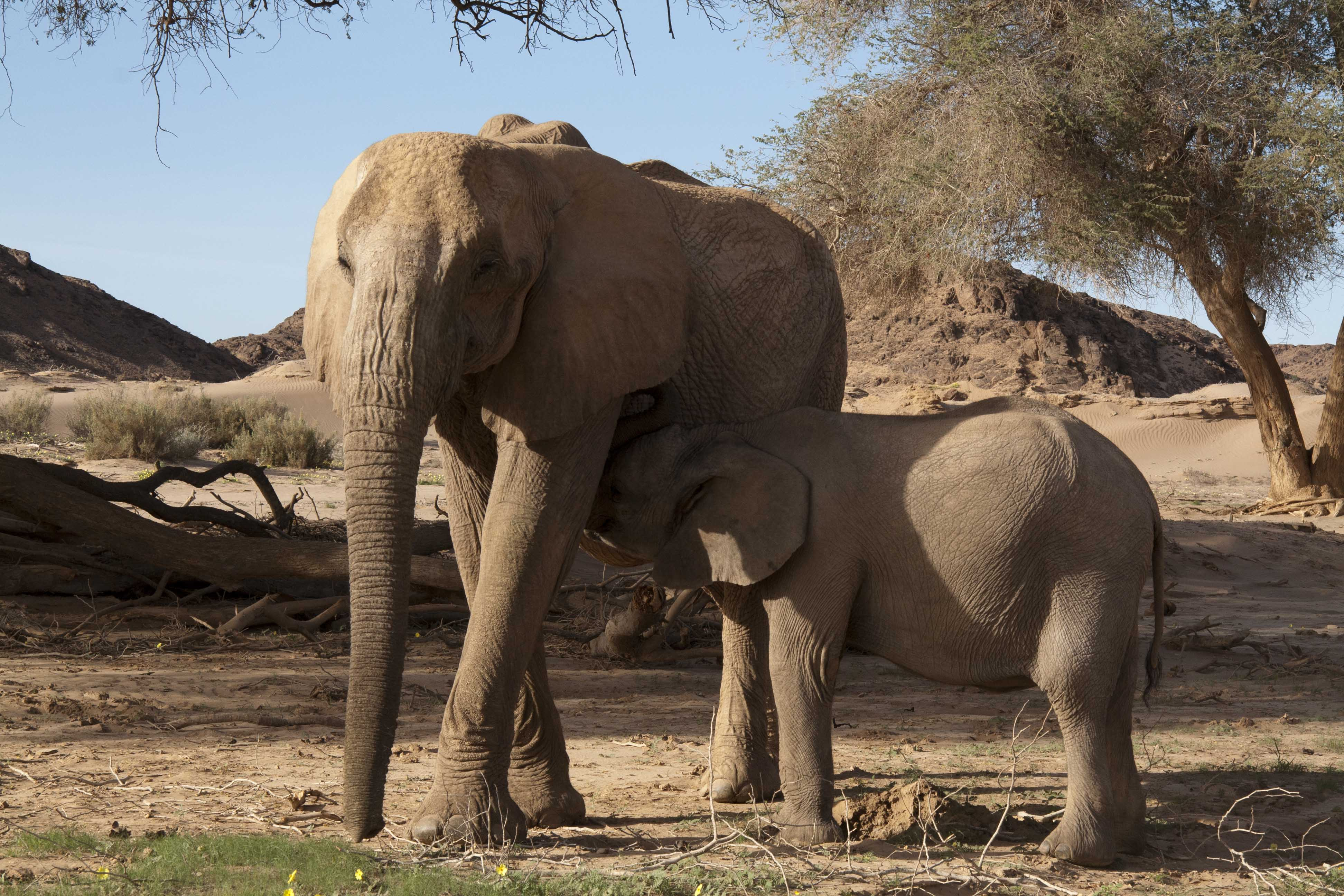 Desert Elephant and calf, Hoanib River, Namibia