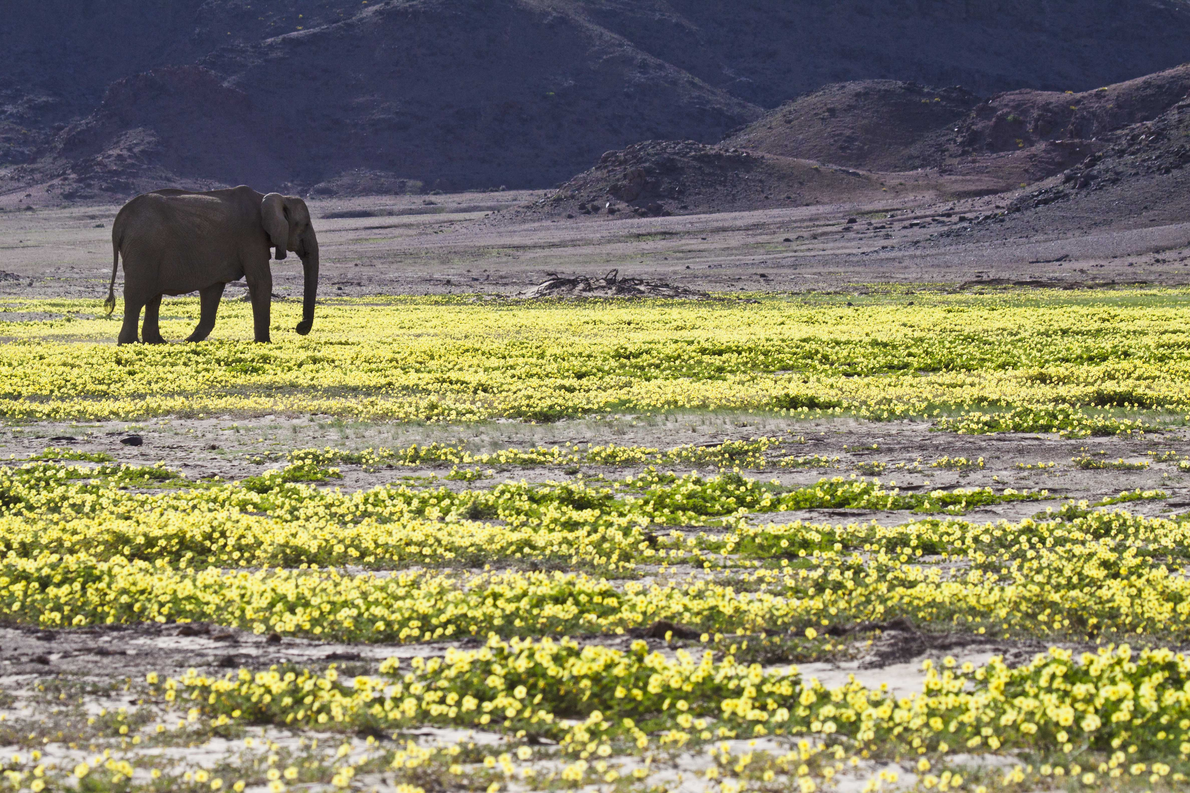 Desert Elephant in Flowers, Hoanib River, Namibia