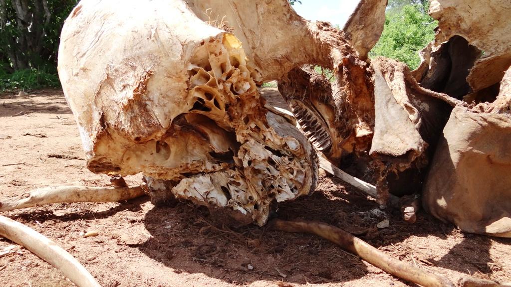 Poached elephant carcass Ruaha NP