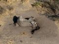 Poached elephant Chobe 1