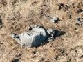 Poached elephant Chobe 2