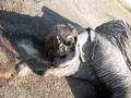 Poached elephant Chobe 4