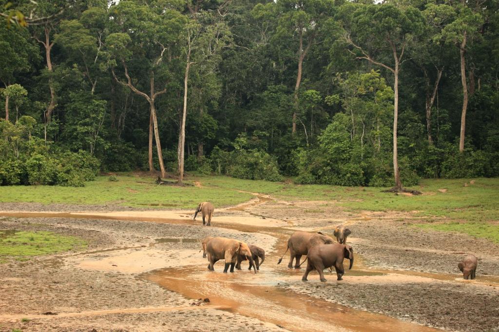 Dzanga Bai Elephants