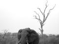 Elephant bull in B&W