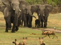 Elephant vs Wild Dog