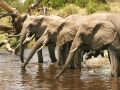 Elephants in a row
