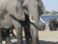 Elephant frontal
