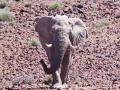 Desert Elephant Bull, Damaraland, Namibia