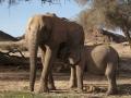 Desert Elephant and calf, Hoanib River, Namibia