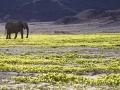 Desert Elephant in Flowers, Hoanib River, Namibia