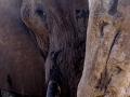 Elephant and Bark, Savuti, Botswana
