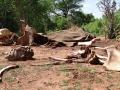 Poached elephant carcass, Ruaha NP