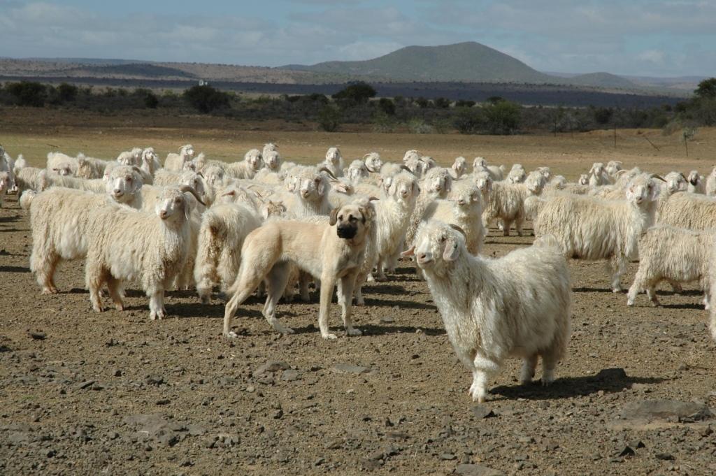 Anatolian & Angora Goats