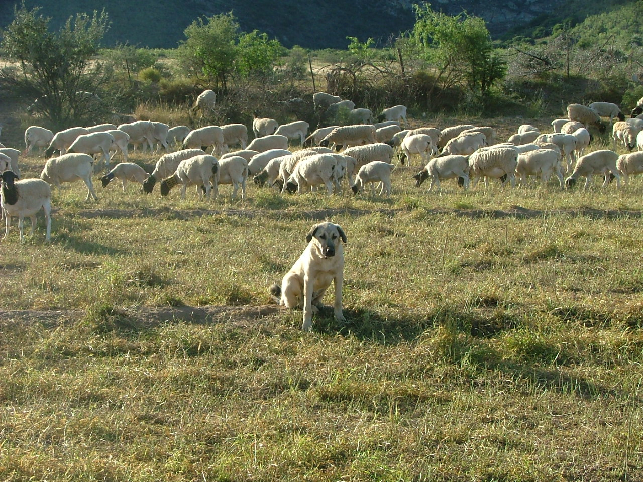 Anatolian & Sheep