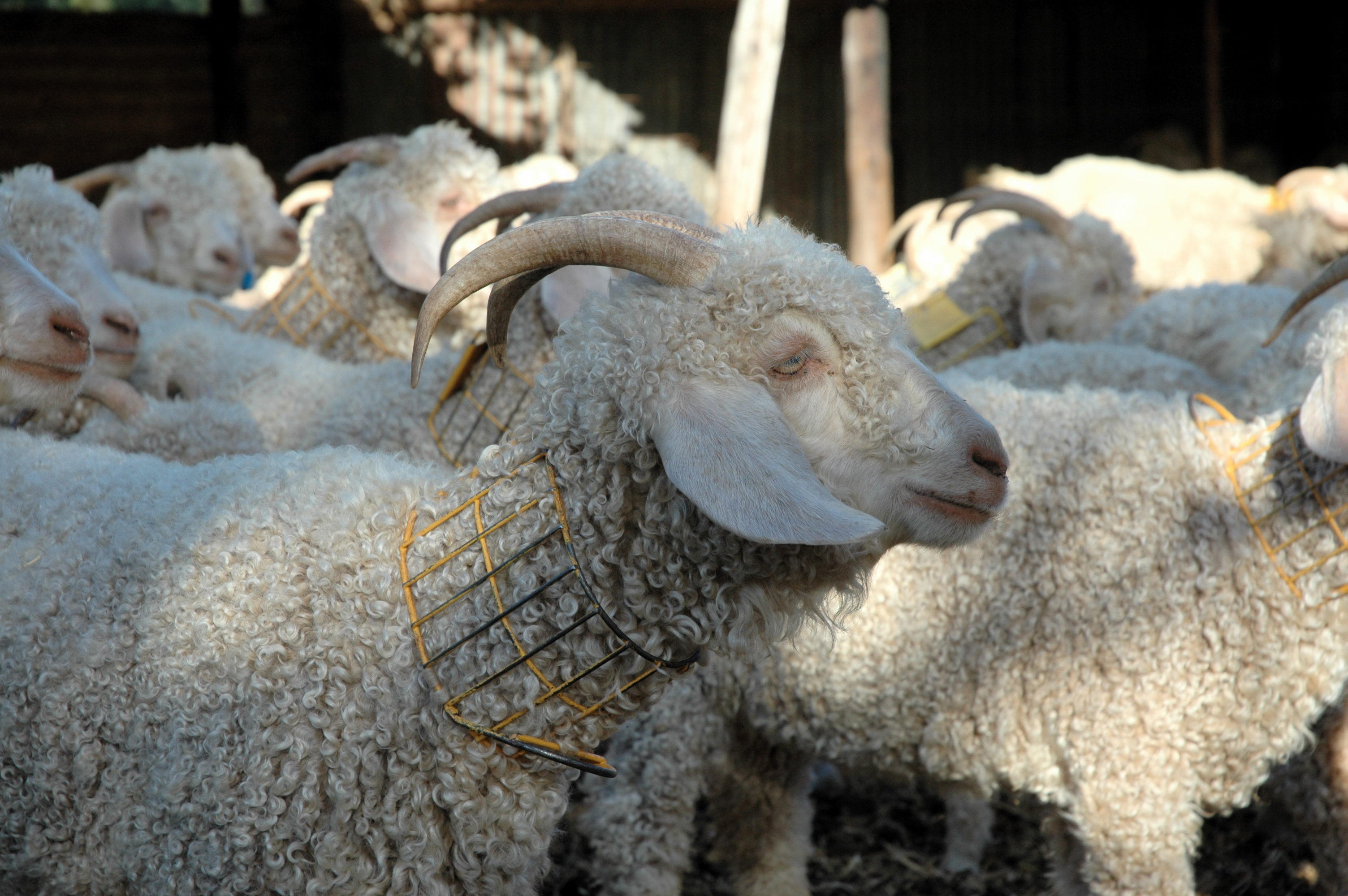 Angora goats with collars