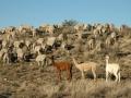 Alpaca protecting sheep