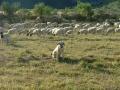 Anatolian & Sheep