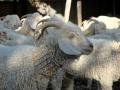 Angora goats with collars