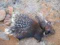 Porcupine victim. Lethal predator control