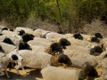 Sheep with protective collar