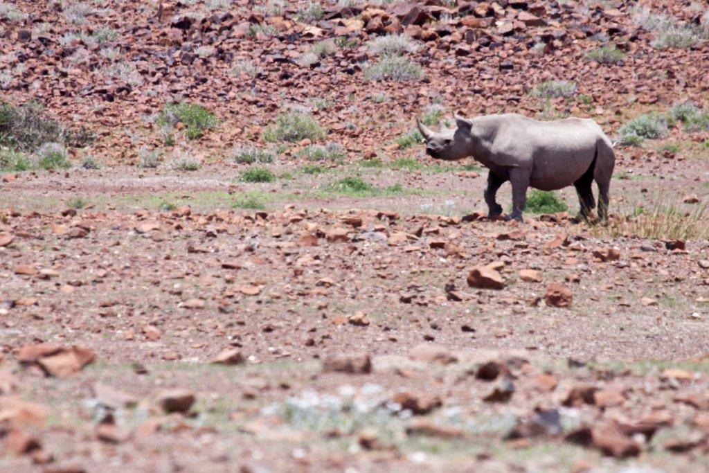 Desert black rhino