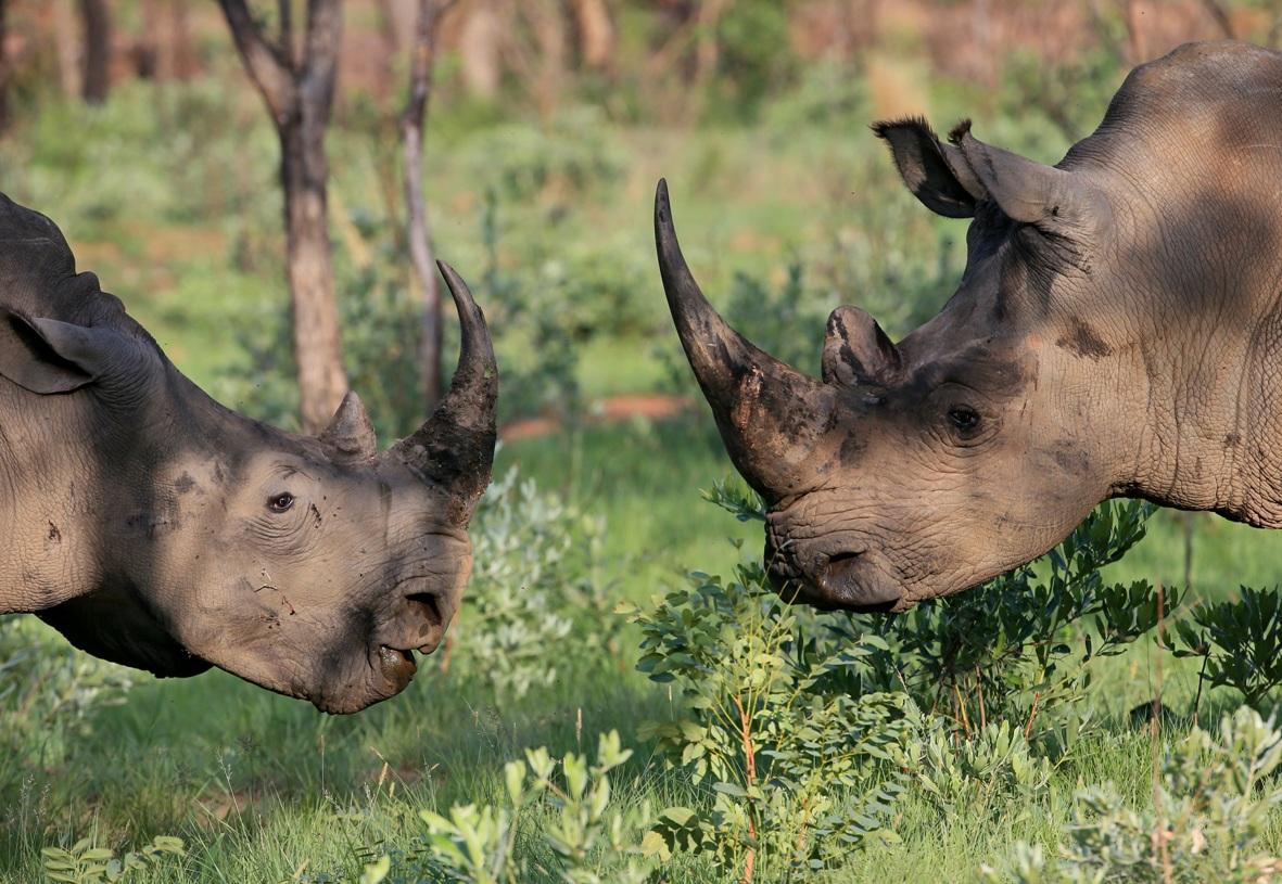 Rhino Duet