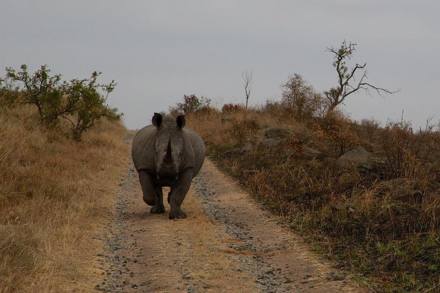 Rhino approaching