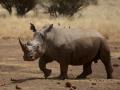 Riversand Rhino