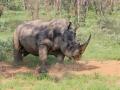 Rhino in the dust 1