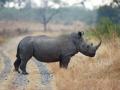 rhino in road Michael Lorentz