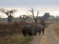 Rhinos sparring