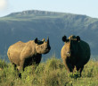 A black rhinoceros cow and her calf.