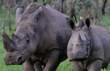 rhino-mother-and-child