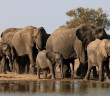 Family of Elephants walking together