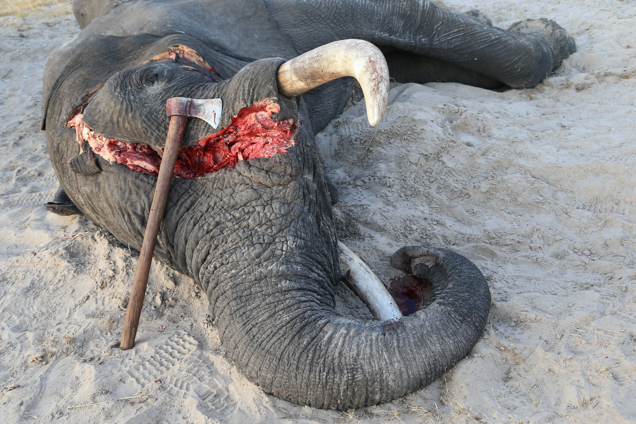 Carnage The Business Of Killing Elephants Conservation