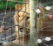lion+caged