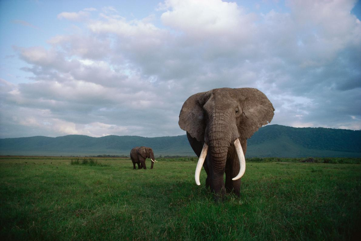 Why Killing A Bull Elephant With Big Tusks Hurts The Herd